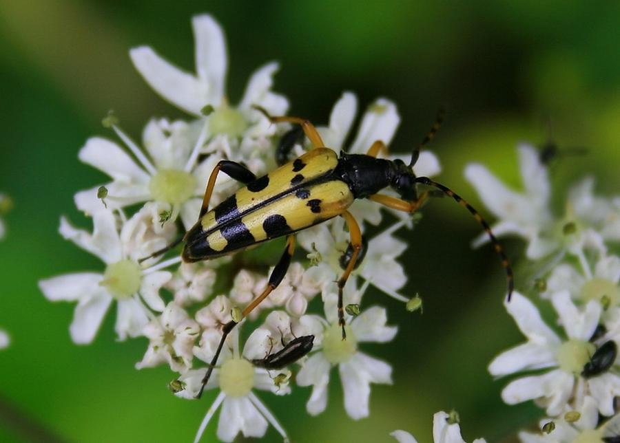 Rutpela maculata - Le Lepture tacheté