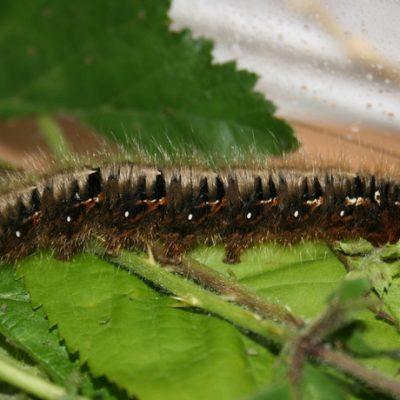 Lasiocampa quercus - Le minime du chêne