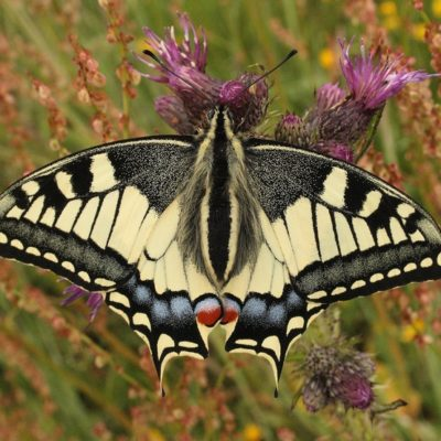 Papilio machaon - Le Machaon