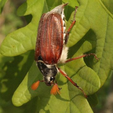 Les scarabées du Massif armoricain