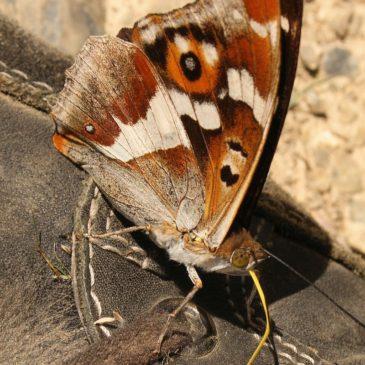 Un papillon qui se trompe