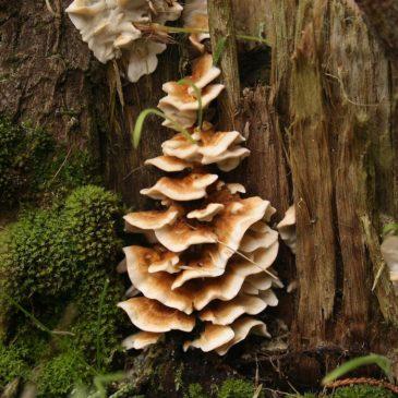 Les champignons indicateurs de forêts anciennes ou à forte naturalité pour la Manche, l'Orne, le Calvados et la Mayenne